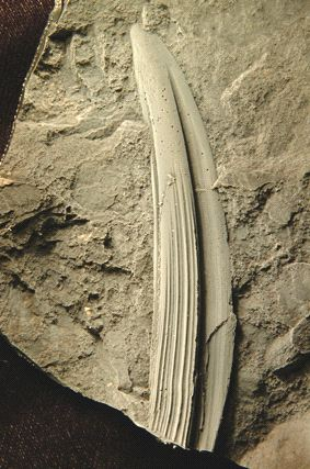 A spine from Machaeracanthus
